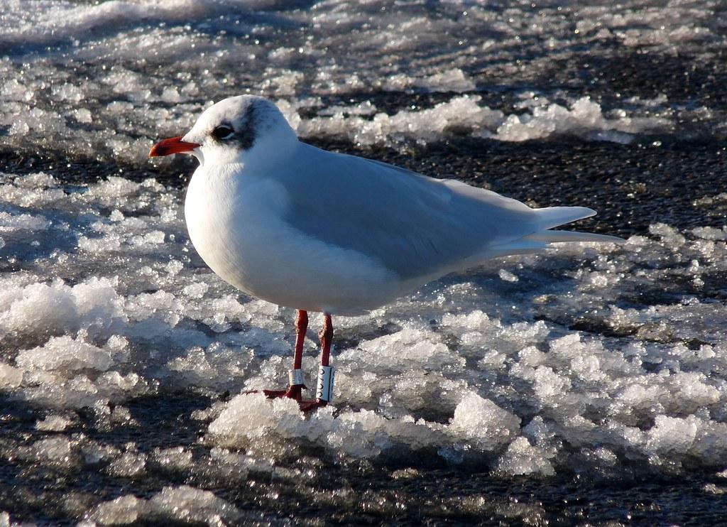 23772 - Mediterranean Gull, Bracelet Bay