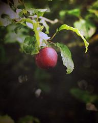 plum V2 (Cath S (sn000py)) Tags: plum plumtree redplum