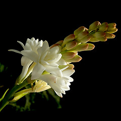 Angélica....angelical...tribute to RIo !! (Martha M G Raymundo) Tags: white flower nature natureza blanc 1000views flôres mmgr canoneosdigitalrebelxs marthamgr redmatrix marthamariagrabnerraymundo marthamgraymundo