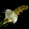 Angélica....angelical...tribute to RIo !! (Martha MGR) Tags: white flower nature natureza blanc 1000views flôres mmgr canoneosdigitalrebelxs marthamgr redmatrix marthamariagrabnerraymundo marthamgraymundo