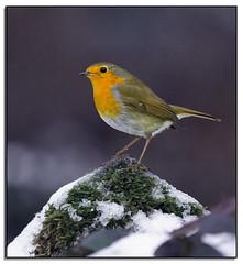 A Splash Of Colour In The Bleak Winter. (Phil Dodd CPAGB BPE1*) Tags: winter robin wildlife naturalhistory britishwildlife dapa britishbirds dapagroupmeritaward dapagroupmeritaward3 dapagroupmeritaward4 dapagroupmeritaward2