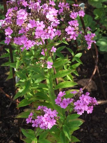 PHLOX paniculata 'Reddish Hesperis'