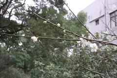 (so peichi) Tags: flower  plumflower