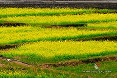 20110118_0088_花東縱谷_油菜花季
