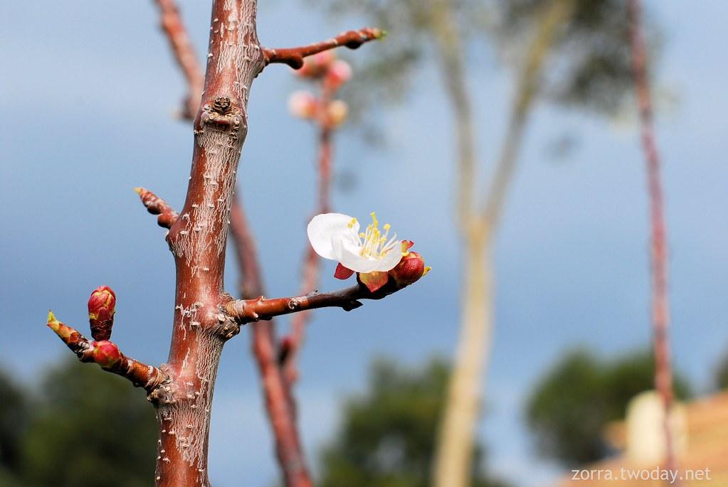 Erste Aprikosenblüte