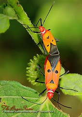 The Bugs Series -Elvis ( Rizalman Kasman Photography) Tags: red orange macro animal fauna bug elvis 1001nights humanface heteroptera pentatomidae kumbang 1001nightsmagiccity eucoryssesgrandis