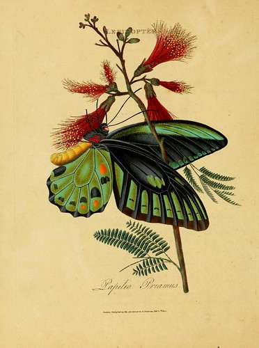 020-Papilio Priamus- An epitome of the natural history of the insects of India…1800- Edward Donovan