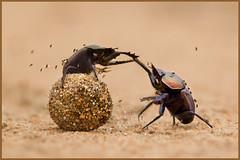 Gladiators (hvhe1) Tags: africa nature animals ball insect southafrica fly fight wildlife safari flies afrika mala gladiator gamedrive gamereserve scarabbeetle dungbeetle malamala mestkever specanimal hvhe1 hennievanherden