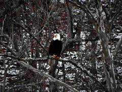 Bennett Spring State Park - Missouri (Adventurer Dustin Holmes) Tags: bird birds animal animals eagle wildlife baldeagle missouri northamerica eagles birdsofprey birdofprey carnivore americanbaldeagle baldeagles northamerican bennettspringstatepark bennettspringsstatepark