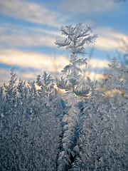 Ice Crystal Tree 7553 (photoholic1) Tags: winter macro ice window canon frost icecrystal g9 iceflowers icetree