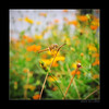 Natural Love! (e.nhan) Tags: life flowers light flower art nature yellow closeup landscape colorful colours dof bokeh arts cosmos backlighting enhan