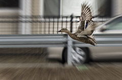 fly (irina_escoffery) Tags: duck