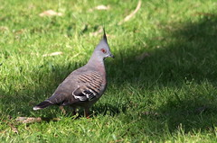 Crested Pigeon IMGP6299 (Cee Jay Cee) Tags: crestedpigeon australianbird pigeon bird australian k30 pentax da55300