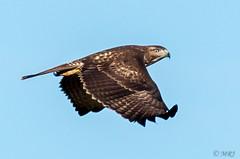 Come Fly With Me (MelRoseJ) Tags: lodi california unitedstates woodbridgeecologicalreserve birds nature sonyalpha sal70400g sony sonyilca77m2 a77ii alpha autofocus hawk ings