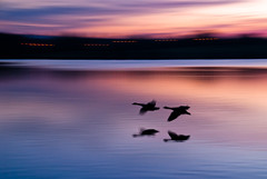 Catching the Red-Eye (Bob Small photography.) Tags: uk sunset england lake canada motion blur bird sunrise flying geese nikon miltonkeynes britain buckinghamshire blurred goose d200 milton keynes sunrisesunset mk blueribbonwinner furztonlake