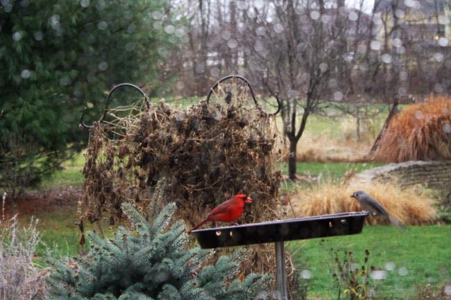 Cardinal morning