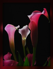 Callas in the Dark (Tamme's Photos) Tags: simplyflowers