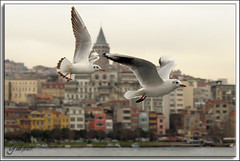 Galata kulesi ve martılar (Yavuz Alper) Tags: boat seagull istanbul vapur galata karaköy kule tekne martı eminönü