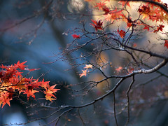 soul (Marie Eve K.A. (Away)) Tags: blue autumn sunset tree fall nature japan dark kyoto branch glow shine bokeh dusk olympus foliage   olympuspen  planar ep2 carlzeiss lateautumn   shinnyod  shinshgokurakuji