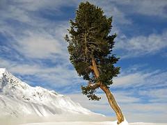 Braving the cold (RainerSchuetz) Tags: winter snow alps pinetree pine austria sterreich alpen tztal tyrol hochgurgl oetzvalley