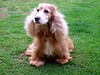 Molly (Mauricio Portelinha) Tags: dog molly perro cachorro cocker ivaiporã spanielinglês