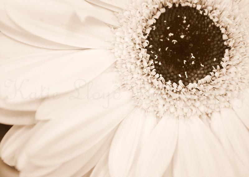 Daisy-in-Sepia---5x7-wm