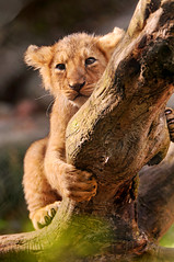 [フリー画像] 動物, 哺乳類, ネコ科, ライオン, 201012101100