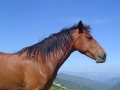 cavallo di profilo (giuseppe_007) Tags: cavalli
