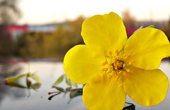 Gelbe Blume vor rotem Regional-Zug, Yellow flower and red train (eagle1effi) Tags: flowers flower nature yellow fauna germany deutschland lumix flora natur blumen foliage gelb fiori blume fiore tuebingen picnik tbingen damncool tubingen potentilla wrttemberg badenwuerttemberg tubinga lumixmacro eagle1effi naturemasterclass fnffingerkraut yourbestoftoday lumixbest dibenga stadttbingen beautifulcityoftubingengermany beautifulcityoftbingengermany