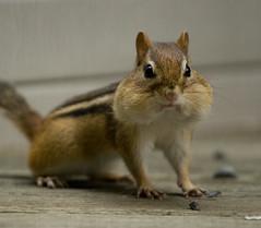 Little Buddy (SavingMemories) Tags: cute mouse rodent furry squirrel friend critter wildlife chipmunk cheeks littlebuddy backyardwildlife savingmemories suemoffett allnaturesparadise