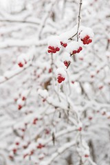 so... berry... cold... (googlit) Tags: winter columbus ohio red white snow cold ice nature outdoors berries hanging snowing snowfall