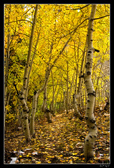 Leading Me Down the Golden Path (jeandayphotography.com) Tags: california ca trees fall colors leaves forest october decay canyon trail aspen sierranevada bishop 2010 mhw jday easternsierranevada bishopcreekcanyon jeanday aspendell mountainhighworkshops