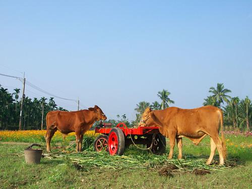 放牧在田邊的兩頭黃牛