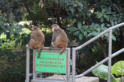 Feral monkeys in the Kowloon Hills, sitting on top of a slope access stairway