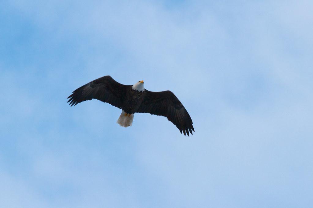 Stray eagle