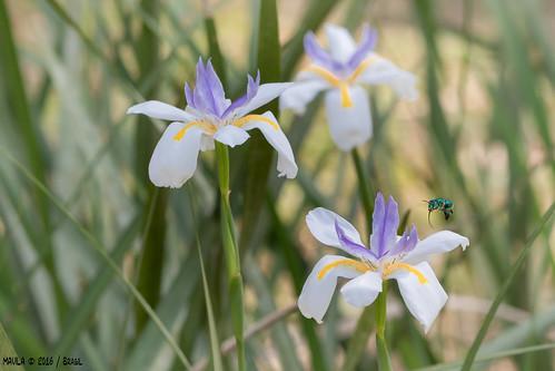 Moréia ( Dietes iridioides )  - African iris