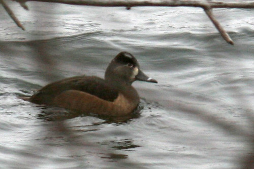 ducks 005