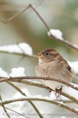 Homester on snow branch (Doede Boomsma) Tags: snow birds branch sneeuw vogels mus maasenwaal huismus deest takjes homester vogelstuindeest