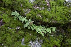 Green Ferny Mossyness (DonCrain) Tags: plants moss ferns greenvalleyfalls cuyamacaranchostatepark
