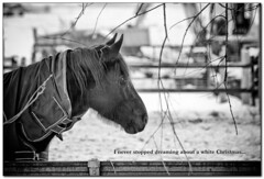 I never stopped dreaming about a white Christmas.... (Michel_Derksen) Tags: winter portrait horse snow sneeuw dreaming whitechristmas portret horsehead paard dromen spaarndam wittekerst paardenhoofd