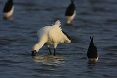 1-1---20101221- (pcbirdtw) Tags: bird        blackfacedspoonbill