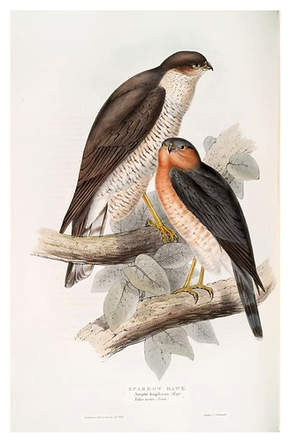 007-Gavilan- The birds of Europe Tomo I-1837- John Gould