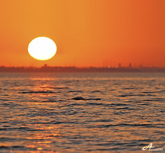 Sunset Flamingo.. (ZiZLoSs) Tags: sunset orange sun canon eos flamingo 7d kuwait usm aziz abdulaziz  f56l ef400mmf56lusm zizloss  ef400mm 3aziz canoneos7d almanie abdulazizalmanie httpzizlosscom