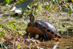 Soaking Up The Sun (Bill McBride Photography) Tags: nature water canon eos rebel florida turtle reptile wildlife fl redbelly xsi saintcloud picta chrysemys chrysemyspicta 450d 55250 canon450d floridaredbellyturtle efs55250 canonxsi