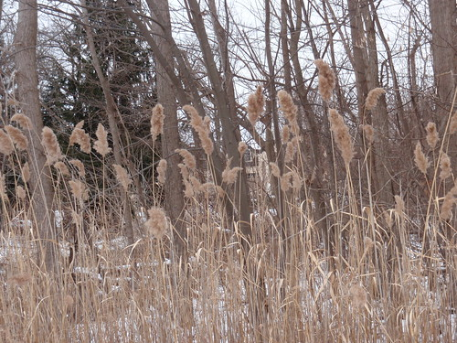 Looking Through the Cattails