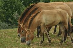 przewalski's gaia park (treverius) Tags: horses horse cheval pony ponies pferde pferd chevaux paard paarden przewalski