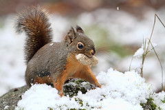 Keep Your Eye on the Prize (Peggy Collins) Tags: snow canada squirrel britishcolumbia pacificnorthwest peanut snowfall squiggy penderharbour sunshinecoast douglassquirrel squirreleatingpeanut peggycollins squirrelinsnow