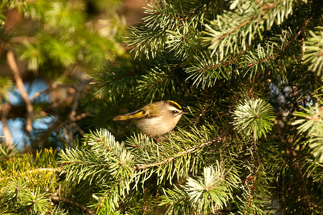 Female Golden-crowned kinglet (Regulus satrapa)