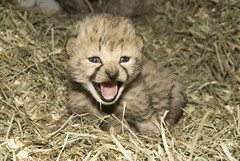 National Zoo's Cheetah Cubs, Smithsonian Conservation Biology Institute (Smithsonian's National Zoo) Tags: usa cub va frontroyal phylumchordata kingdomanimalia classmammalia handrearing ordercarnivora familyfelidae scbi genusacinonyx speciesjubatus