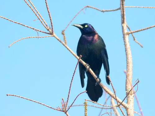 common grackle flight. A lowly Common Grackle,